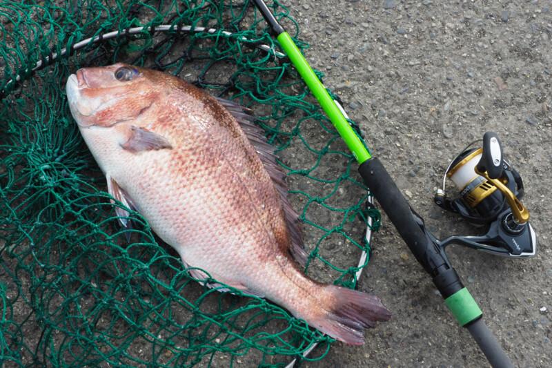 陸から鯛!?海洋釣り堀で大型魚を狙おう
